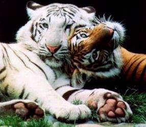 Panthera tigris: bigcats.ru/index.php?bcif=tigers.shtml