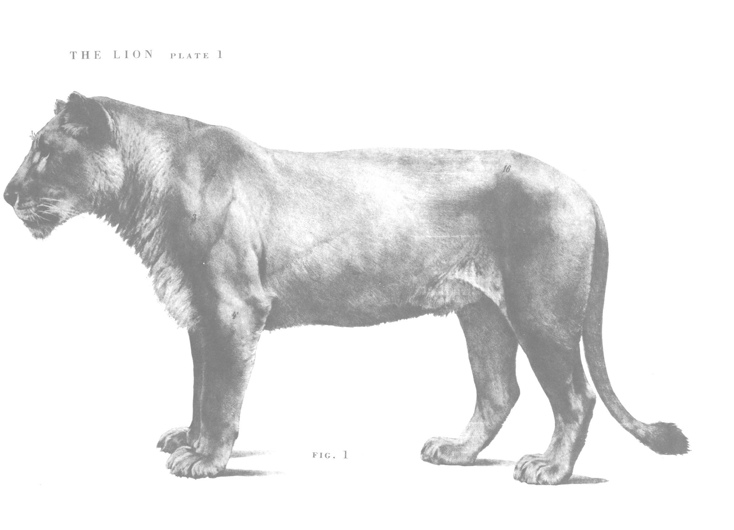 Lion skull anatomy