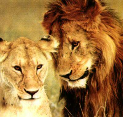 Сексуальная жизнь львов
