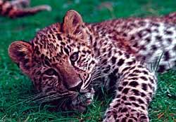 Спасать вымирающий вид леопардов при…