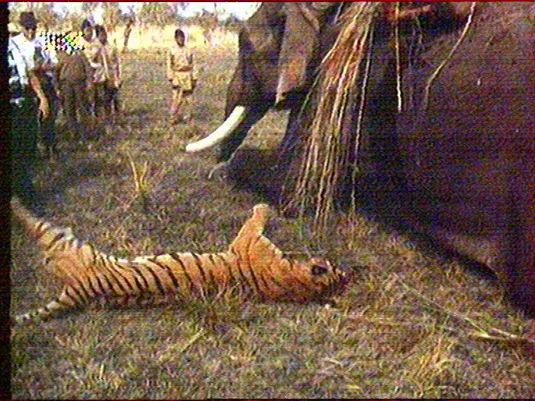 Индийские тигры-людоеды | ФЛОРА И ФАУНА | Яндекс Дзен | 576x768
