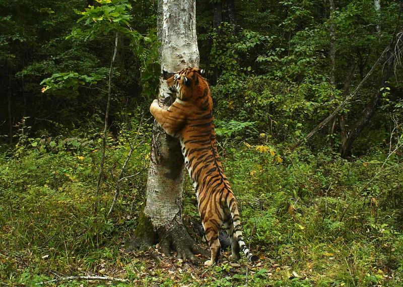 Natural Habitat of Siberian Tigers  Animals  momme